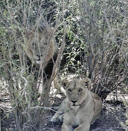 Lionslooking_3